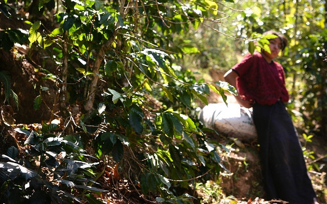 organic mexican coffee picker
