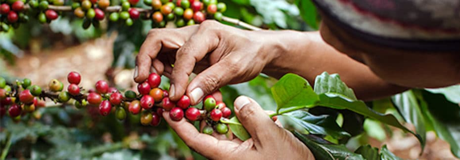 Fair Trade Coffee Harvesting