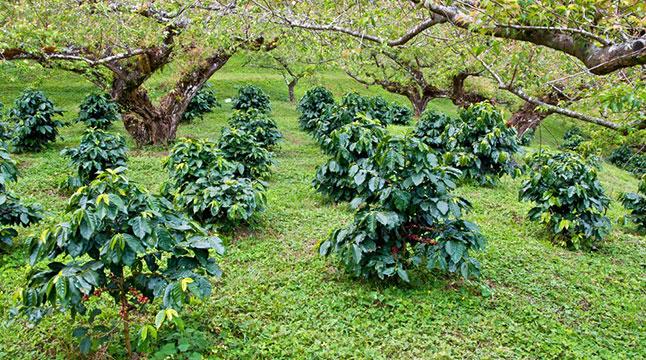 coffee-farm1-646w
