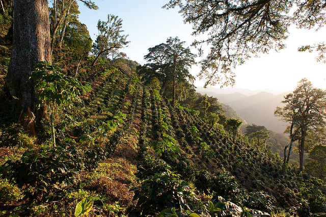 sunshine coffee finca
